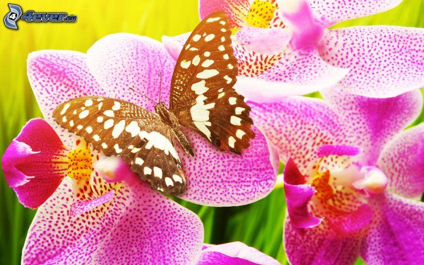 svart fjäril, orkidéer