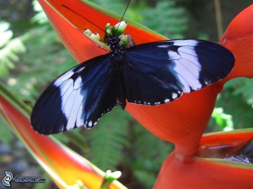 svart fjäril, röd blomma