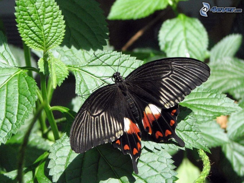 svart fjäril, växter