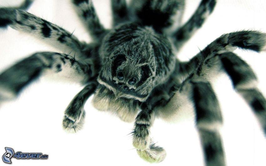 taranter, spindel