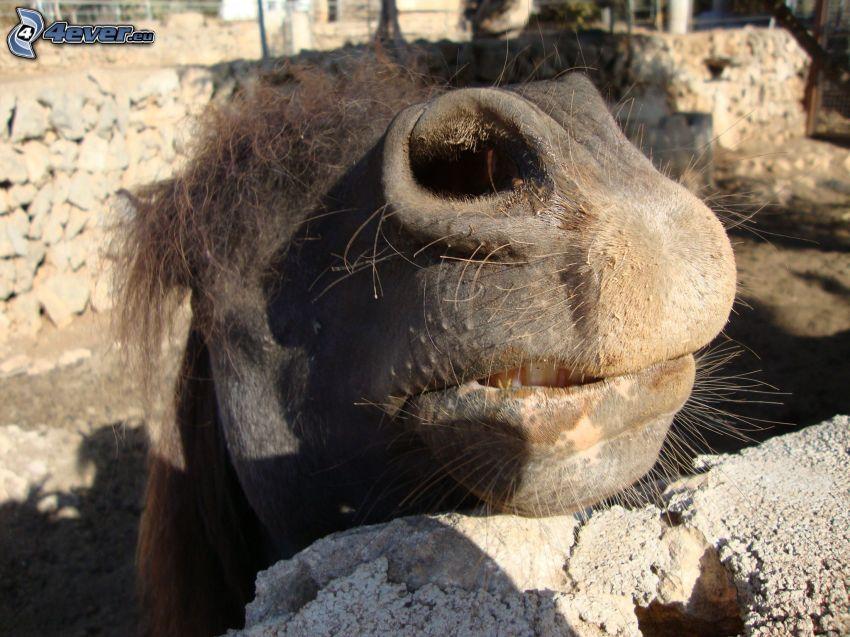 kamel, djurläpp, ZOO
