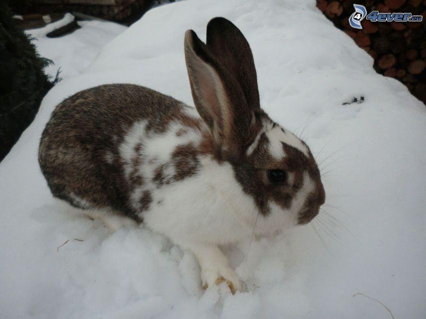 fläckig kanin, snö