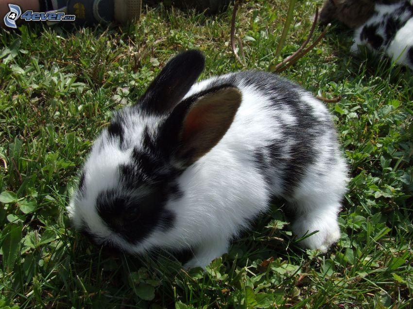 fläckig kanin