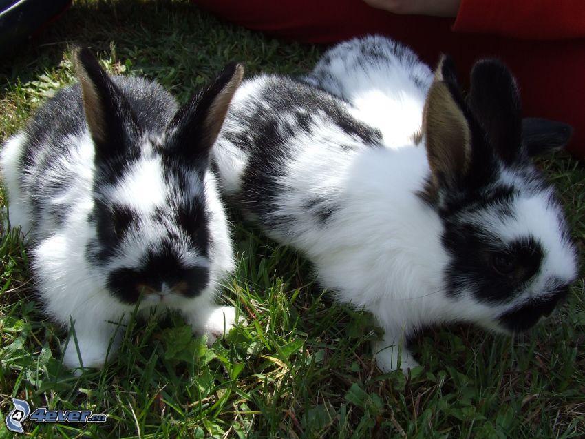 fläckiga kaniner
