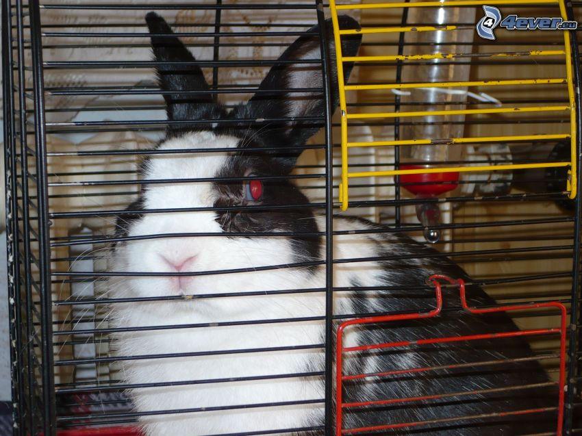 hare, bur