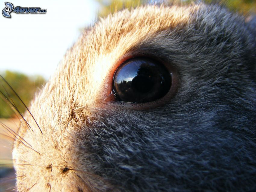 hare, öga