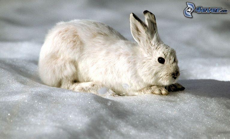 hare i snö