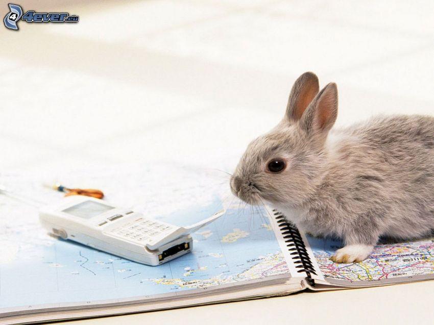 kanin, atlas, mobiltelefon