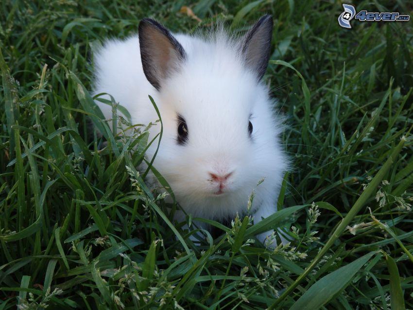 kanin, gräs