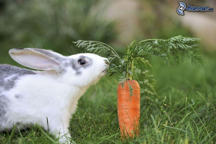 kanin, morötter