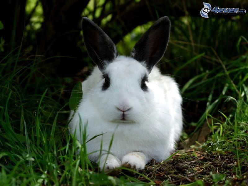 kanin i gräs