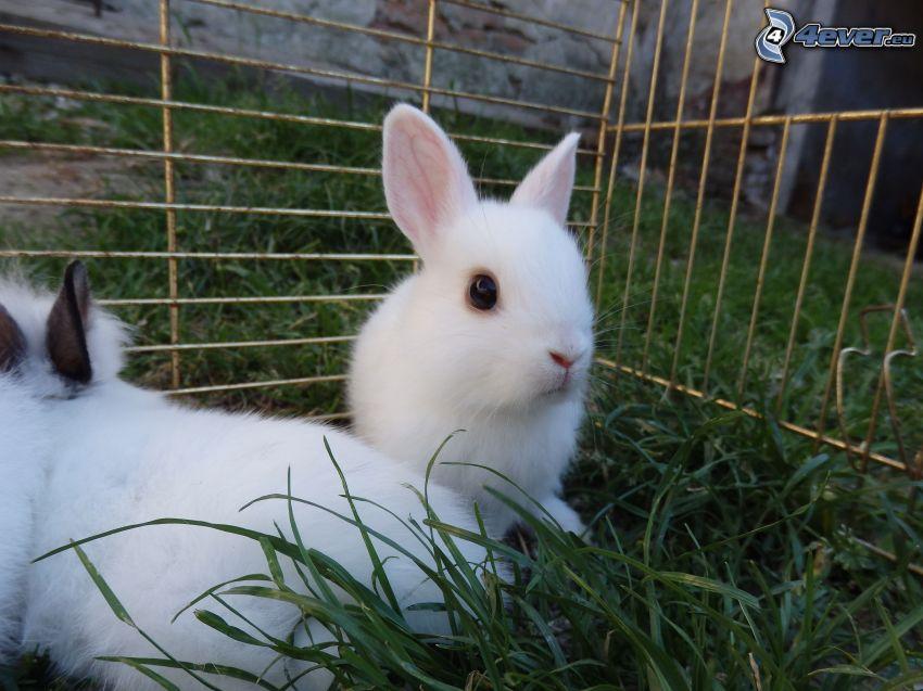 kaniner, gräs, bur