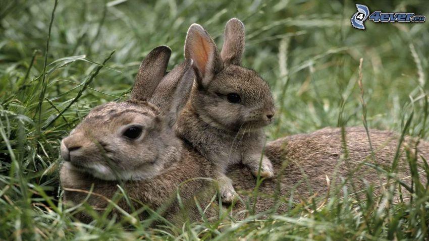 kaniner, gräs