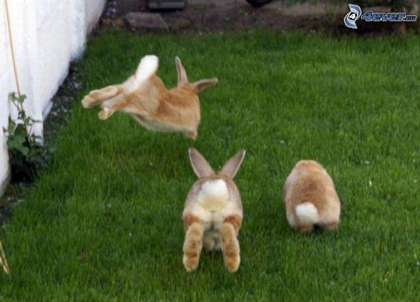 kaniner, hopp, gräs