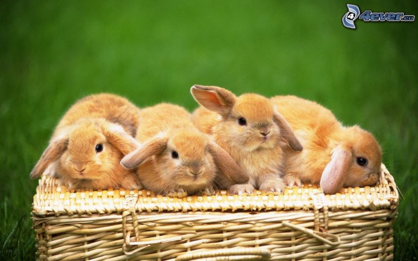 kaniner, korg