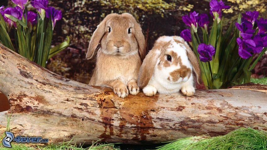 kaniner, lila blommor