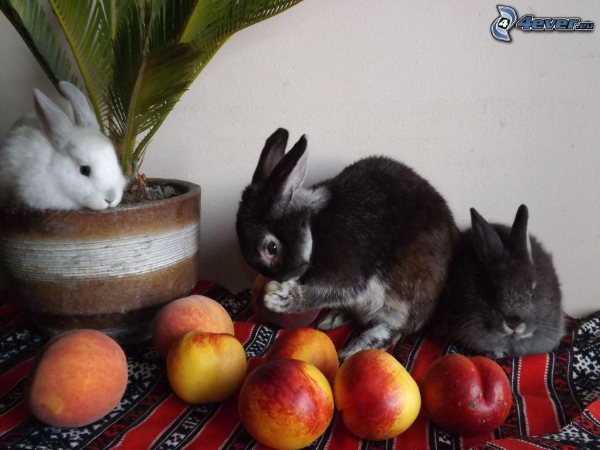 kaniner, nektariner