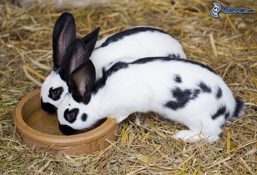 kaniner, skål, hö