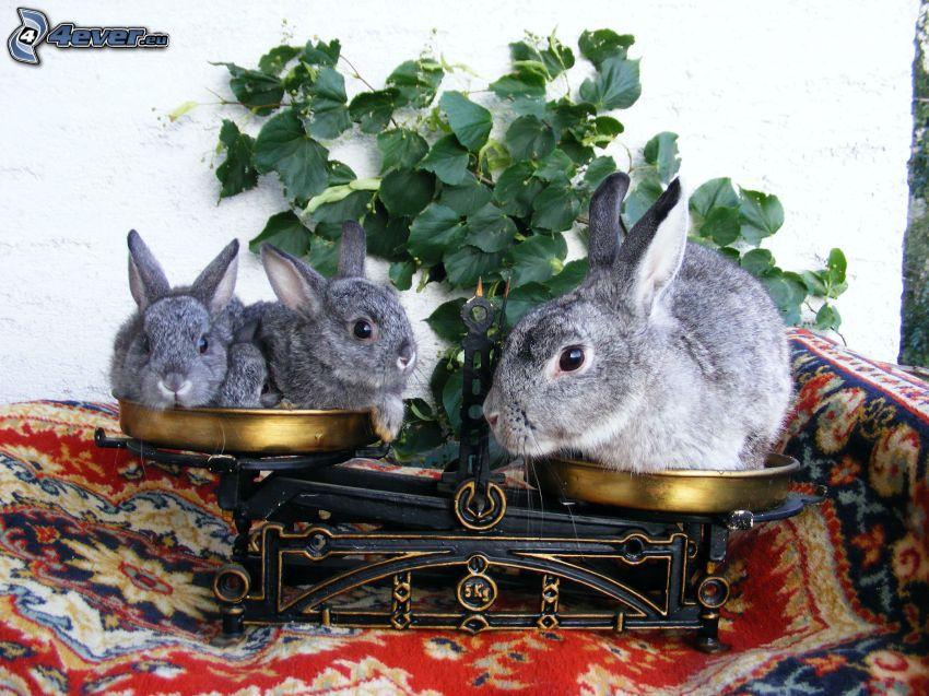 kaniner, våg