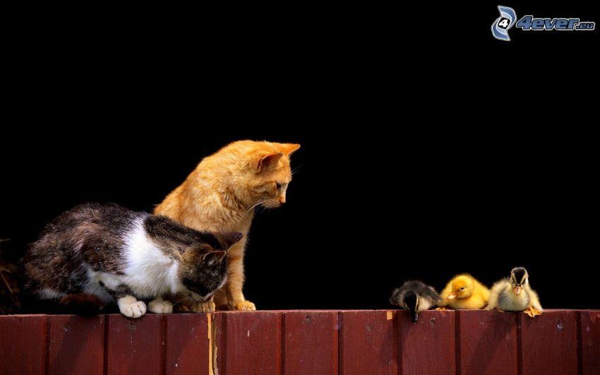 katter, ankungar, trästaket