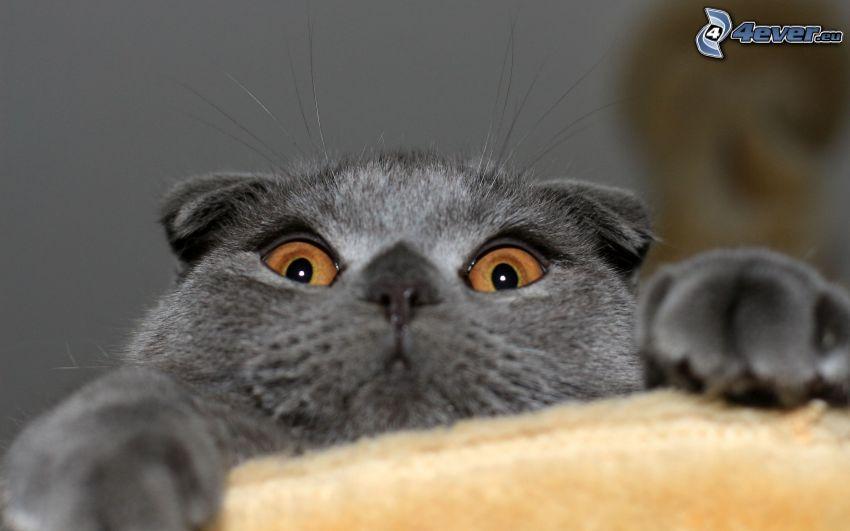 brittisk katt, kattblick