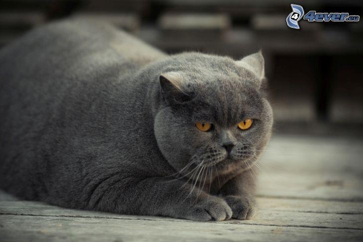 brittisk katt