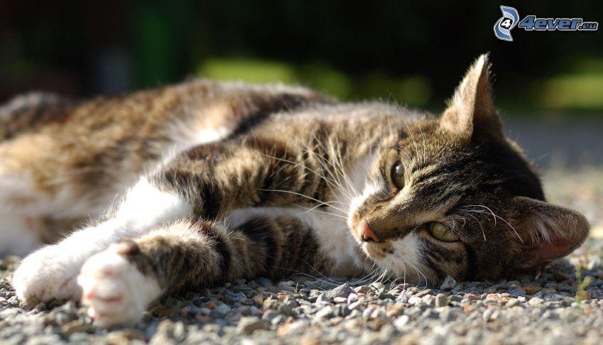 brun katt, vila