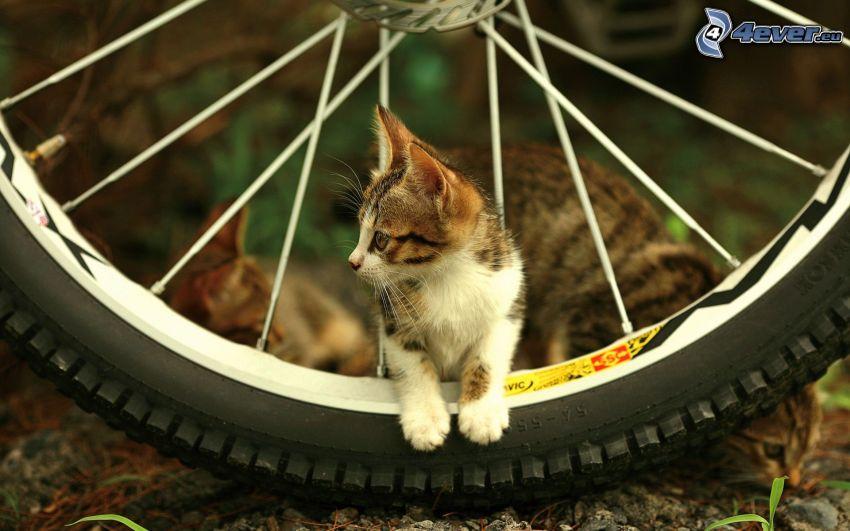 fläckig kattunge, hjul