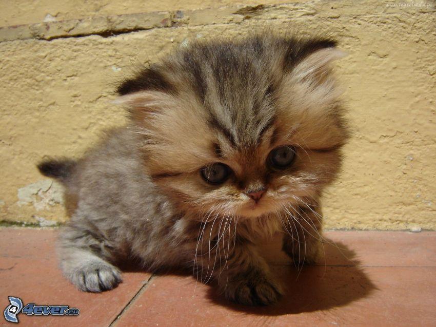 fluffig kattunge, liten kattunge