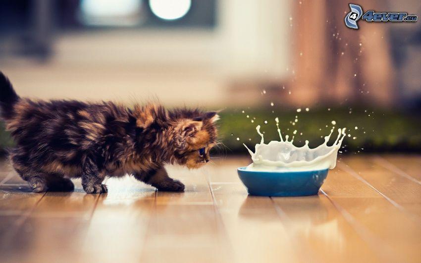 fluffig kattunge, mjölk, plask