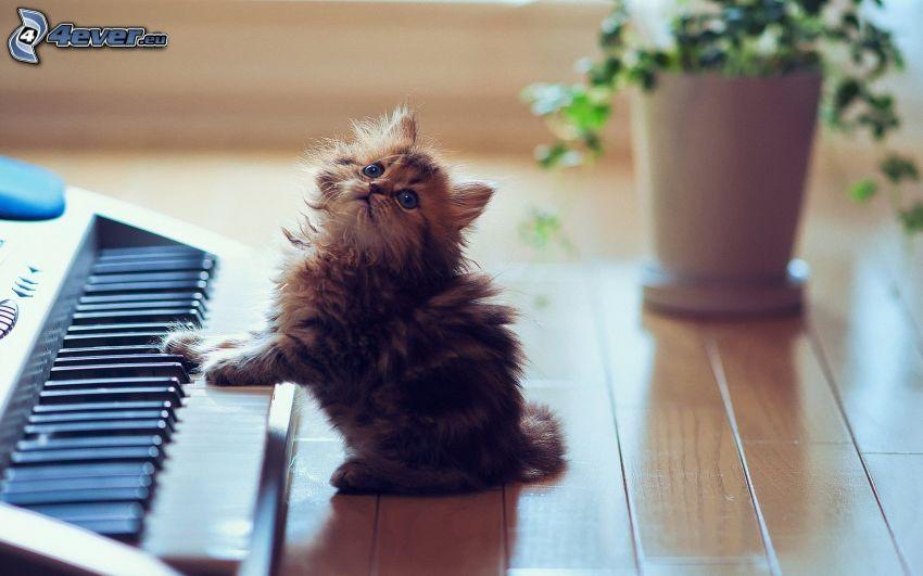 fluffig kattunge, piano