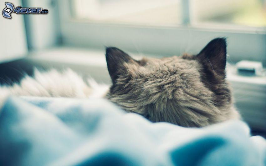 grå katt, huvud, öron