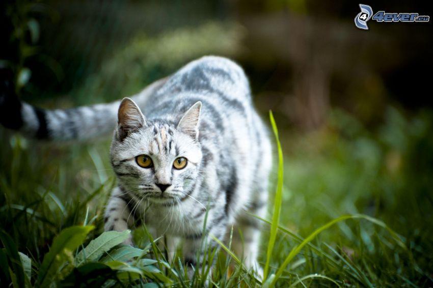 grå katt, katt i gräs