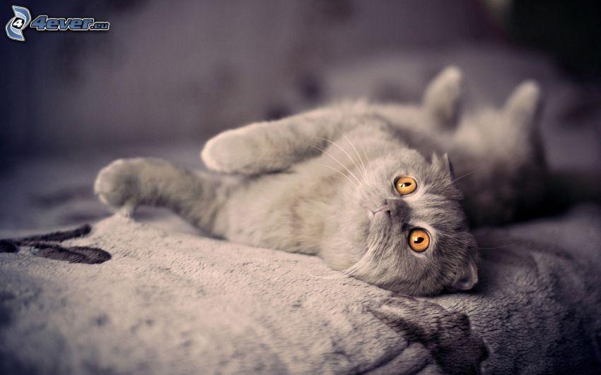 grå katt, säng
