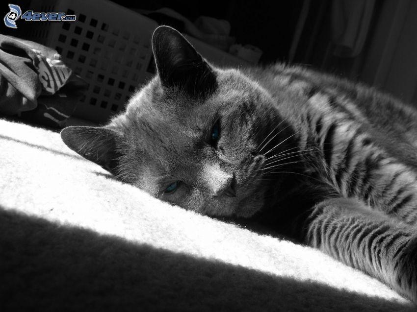 grå katt, vila