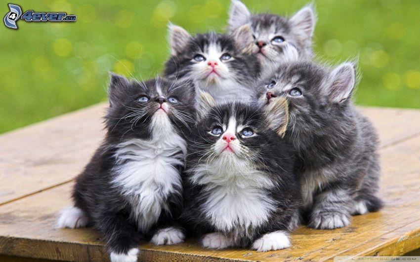 grå kattungar