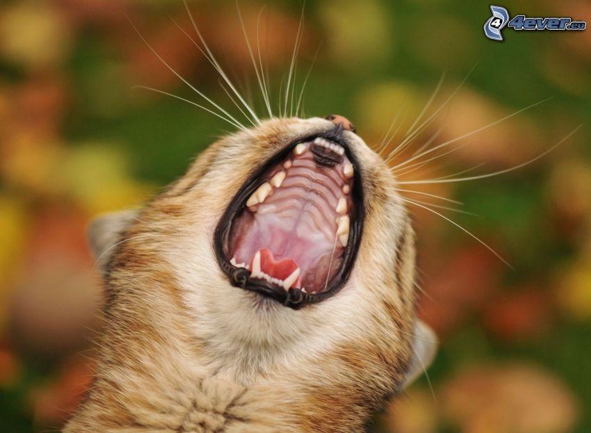 katt, gäspning