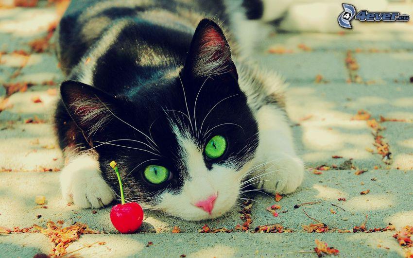 katt, körsbär