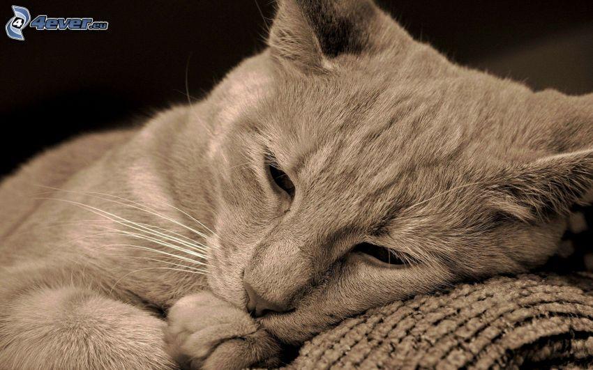 katt, svart och vitt, vila