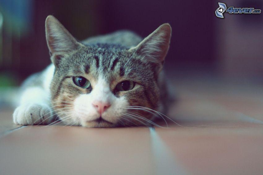 katt, vila