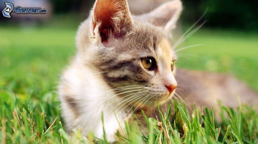 katt i gräs