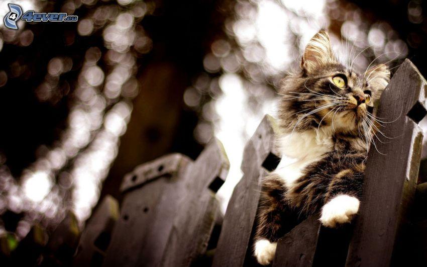 katt på staket, trästaket