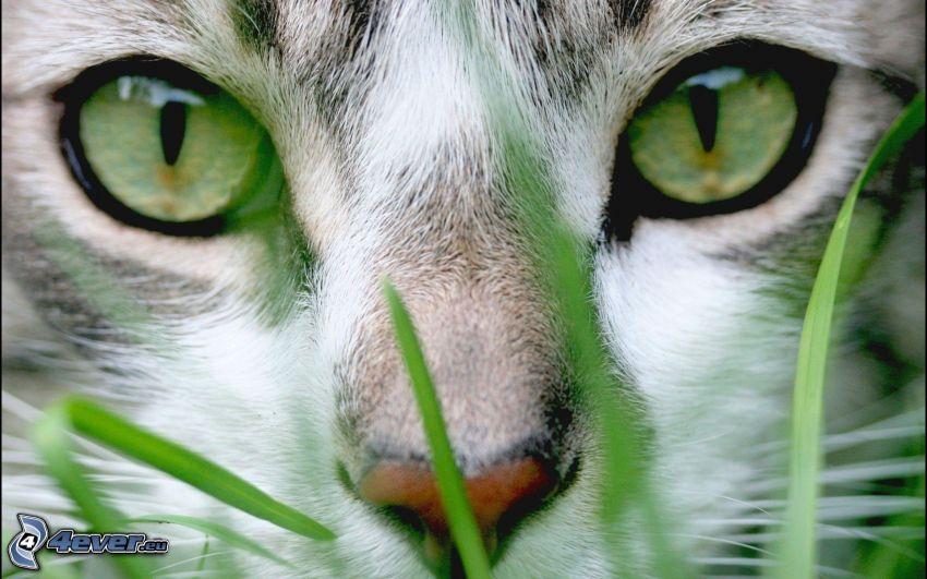 kattansikte, gröna ögon