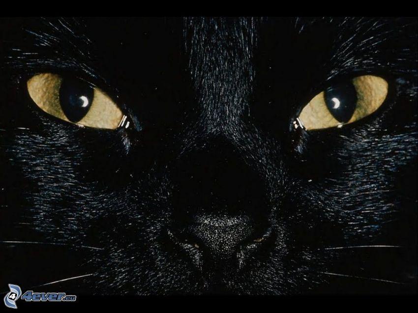 kattansikte, svart katt