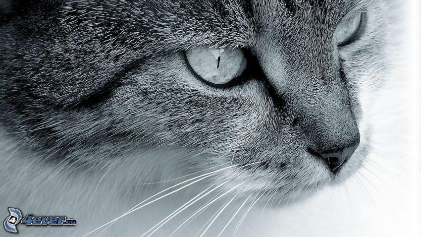kattansikte, svartvitt foto
