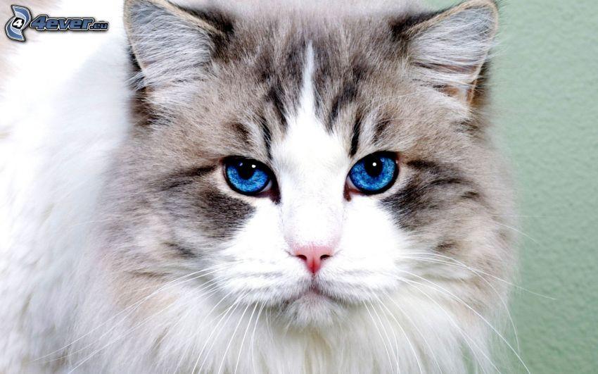 kattblick, blå ögon