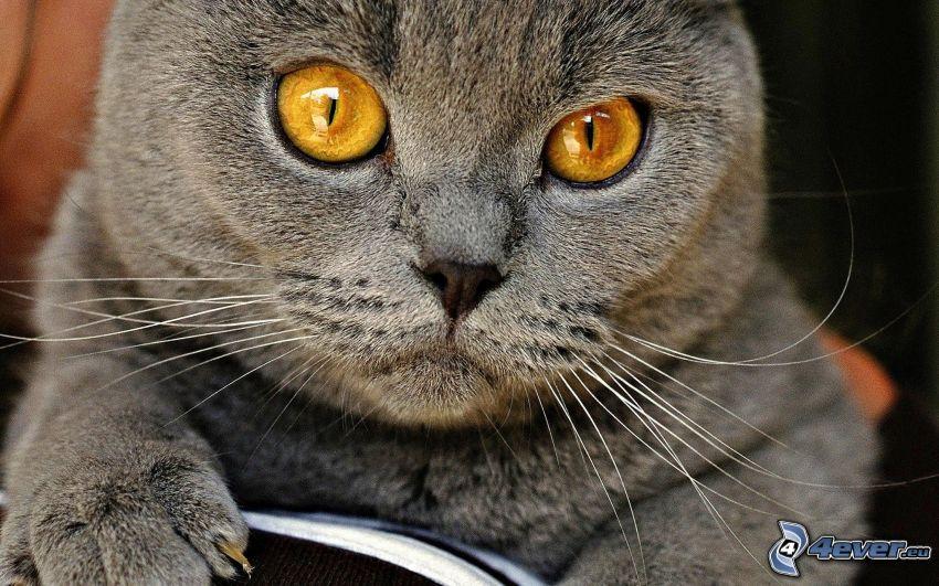 kattblick, brittisk katt