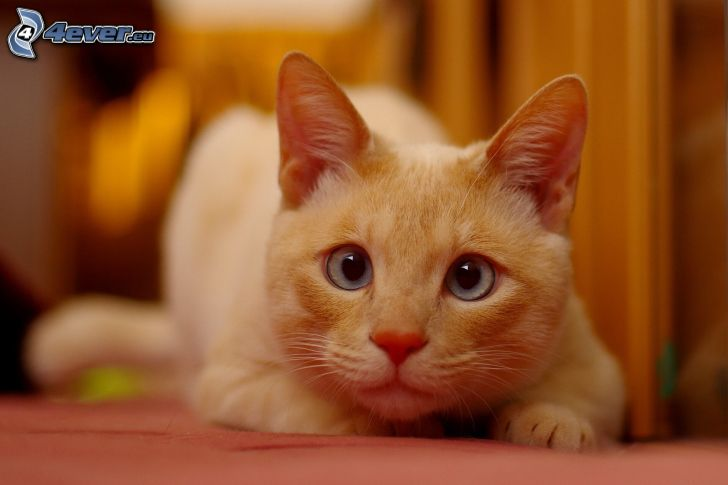 kattblick, brun katt
