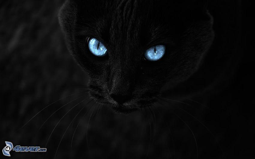 kattblick, svart katt, blå ögon