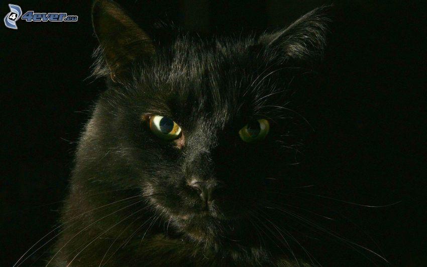 kattblick, svart katt